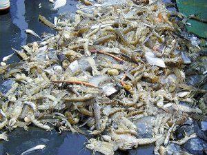 すし種の「小柴のシャコ」が激減…海底を調査へ