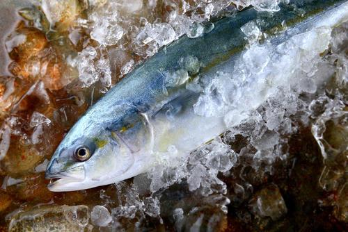 成長で呼び名が変わる!?出世魚「ブリ」の名称を徹底解説
